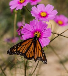 Monarch butterfly at pollinator field